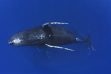 Humpback whale (Megaptera novaengliae) female swimming away from six males during heat run, Vava'u, Tonga, Pacific Ocean.