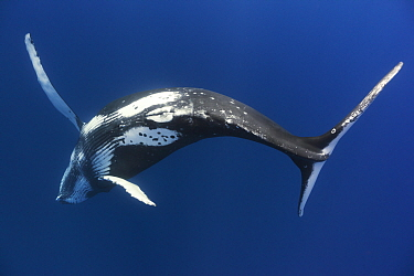 Humpback whale (Megaptera novaengliae) young male twirling and playing in the water, Vava'u, Tonga, Pacific Ocean.