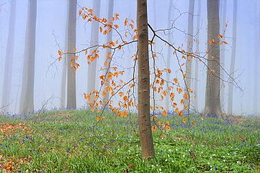 Fog in Beech forest (Fagus) with Bluebells (Scilla / Endymion non-scripta). Hallerbos, Halle, Belgium, April.