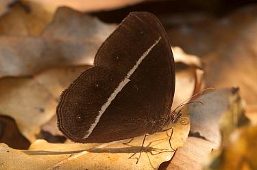 Smooth-eyed Bush-brown Butterfly (Orsotriaena medus). Sepahijala Wildlife Sanctuary, Tripura, India.