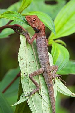Common Garden Lizard (Calotes versicolor) on leaf. Rowa wildlife sanctuary, Tripura, India.