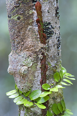 Leaf tailed gecko (Uroplatus fimbriatus) Andasibe-Mantadia NP, Madagascar