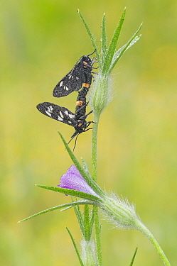 Nine spotted moths (Syntomis phegea) mating on Corn-rose (Agrostemma githago) Peerdsbos, Brasschaat, Belgium July