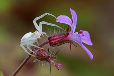 Crab spider (Misumena vatia) on Herb Robert (Geranium robertianus) Brasschaat, Belgium, May
