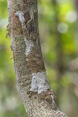 Mossy leaf-tailed gecko (Uroplatus sikorae) camouflaged on branch, Andasibe-Mantadia National Park, Madagascar.