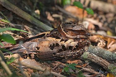 Collared nightjar (Caprimulgus enarratus )  resting on the ground, Andasibe-Mantadia National Park, Madagascar.