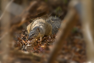Narrow-striped mongoose (Mungotictis decemlineata) feeding on Giant African land snail. Kirindy Forest, Madagascar.