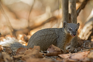 Narrow-striped mongoose (Mungotictis decemlineata) Kirindy Forest, Madagascar.