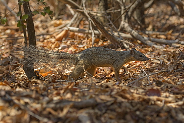 Narrow-striped mongoose(Mungotictis decemlineata) on ground, Kirindy Forest, Madagascar.