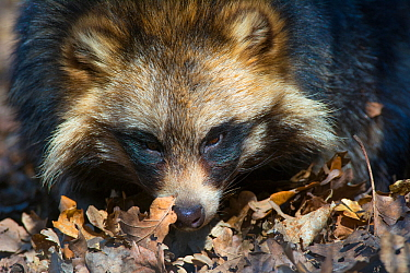 Raccoon dog (Nyctereutes procyonoides) portrait, captive, occurs in East Asia.
