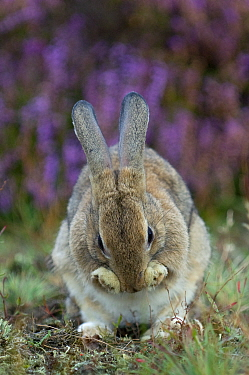 European rabbit (Oryctolagus cuniculus) grooming, The Netherlands, September.