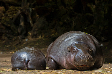 Pygmy hippopotamus (Choeropsis liberiensis) adult and baby resting, captive, occurs in West Africa. Endangered species.