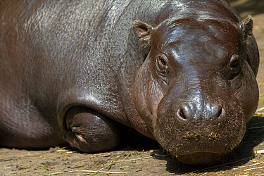 Pygmy hippopotamus (Choeropsis liberiensis) portrait, captive, occurs in West Africa. Endangered species.