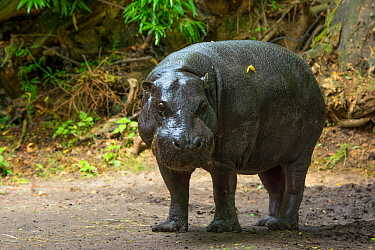Pygmy hippopotamus (Choeropsis liberiensis) portrait , captive, occurs in West Africa. Endangered species.