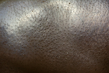 Pygmy hippopotamus (Choeropsis liberiensis) close up of skin, captive, occurs in West Africa. Endangered species.