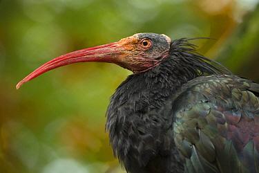 Northern bald ibis (Geronticus eremita) portrait, captive, occurs in Morocco, Turkey and Syria, Critically endangered species.