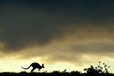 Wallaroo (Macropus robustus) hopping, silhouetted against sky, Cape Range National Park, Western Australia, Australia.