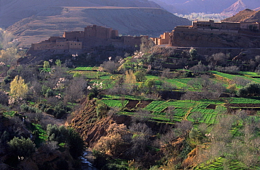 View over orchards with trees in blossom towards village, Dades Valley, High Atlas Mountains, Morocco.