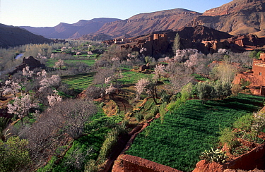 View over agricultural land including blossoming orchards and a village of the Dades Valley, High Atlas Mountains, Morocco.