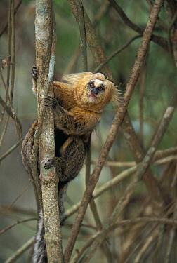 Buffy-headed marmoset (Callithrix flaviceps) on tree trunk, Atlantic Forest, Minas Gerais, Brazil.