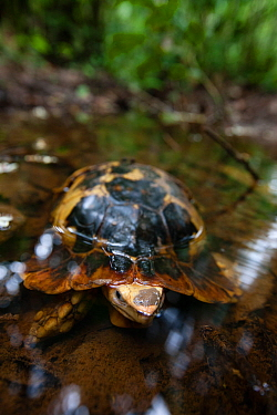 Forest hingeback tortoise (Kinixys erosa) in shallow woodland pool, Lobeke / Lake Lobak National Park, Cameroon, July.