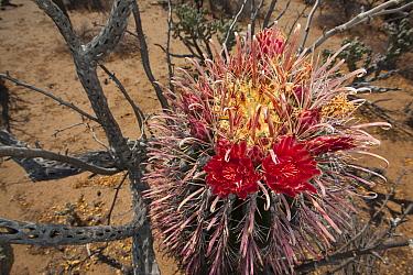 Fishhook barrel cactus (Ferocactus wislizeni) in flower, Vizcaino Desert, Baja California, Mexico, May.