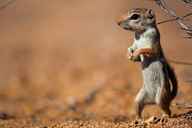 Harris' antelope squirrel (Ammospermophilus harrisii) standing alert on hind legs, Vizcaino Desert, Baja California, Mexico, May.