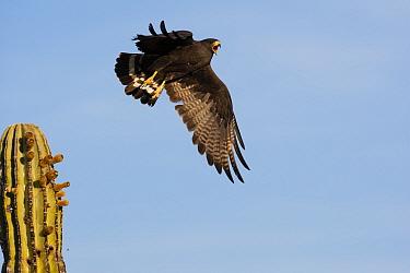 Harris' hawk (Parabuteo unicinctus) taking off from cactus, calling, Vizcaino Desert, Baja California, Mexico, May.