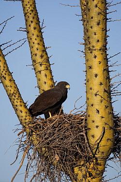 Harris' hawk (Parabuteo unicinctus) on nest in a Boojum tree (Fouquieria columnaris) Vizcaino Desert, Baja California, Mexico, May.