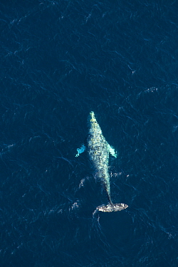 North Pacific right whale (Eubalaena japonica) swimming near surface, aerial view, Channel Islands National Park, California, USA. February.
