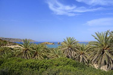 Cretan date palms (Phoenix theophrasti) at Vai beach, Sitia Nature Park, Lasithi, Crete, Greece, May 2013.