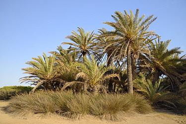 Cretan date palms (Phoenix theophrasti) on Vai beach, Sitia Nature Park, Lasithi, Crete, Greece, May 2013.