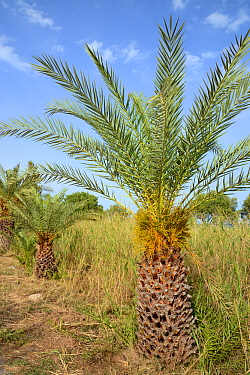 Young Cretan date palm (Phoenix theophrasti) with developing fruits, Xerokambos village, Lasithi, Crete, Greece, May 2013.