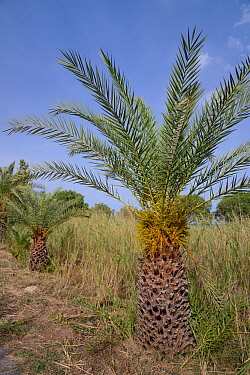 Young Cretan date palms (Phoenix theophrasti), Xerokambos village, Lasithi, Crete, Greece, May 2013.