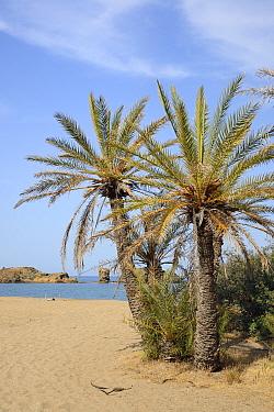 Vai beach with Cretan Date Palms (Phoenix theophrasti), Sitia Nature Park, Lasithi, Crete, Greece, May 2013.