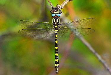 Pacific spiketail dragonfly (Cordulegaster dorsali) male resting,  California, USA.