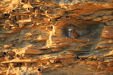 Great Horned Owl (Bubo virginianus) adult female roosting in a cliff covered in Cliff Swallow nests (Petrochelidon pyrrhonata) Sublette County, Wyoming, USA, June