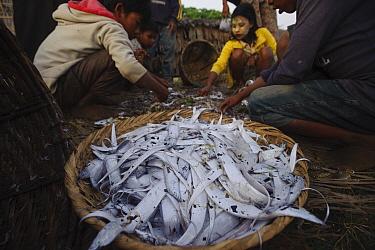 Rakhine children sorting through fisherman catch an ephemeral barrier island in the Bengal Sea, Rakhine State, Myanmar, 2012