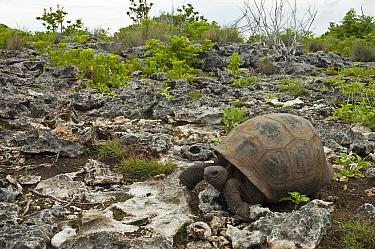 Aldabra Giant Tortoise (Aldabrachelys gigantea) in rocky terrain, Grand Terre, Natural World Heritage Site, Aldabra