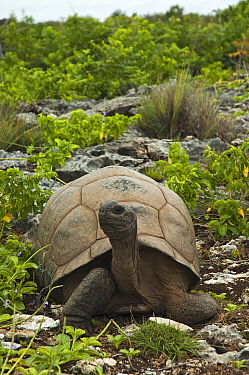 Aldabra Giant Tortoise (Aldabrachelys gigantea) in rocky habitat with head raised, Grand Terre, Natural World Heritage Site, Aldabra