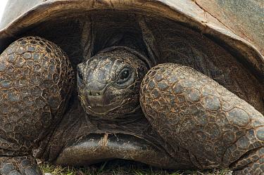 Aldabra Giant Tortoise (Aldabrachelys gigantea) close up of retracted head, Grand Terre, Natural World Heritage Site, Aldabra