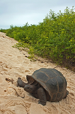 Aldabra Giant Tortoise (Aldabrachelys gigantea) in the dunes on the south coast of Grand Terre, Natural World Heritage Site, Aldabra