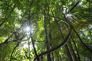 Tropical rainforest with Lianas,  Barro Colorado island, Gatun lake, Panama Canal, Panama.
