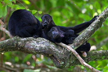Mantled howler monkey (Alouatta palliata) male relaxing with baby and another adult, tropical rainforest, Barro Colorado Island, Gatun Lake, Panama Canal, Panama.