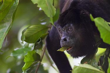 Mantled howler monkey (Alouatta palliata) feeding in tropical rainforest, Barro Colorado Island, Gatun Lake, Panama Canal, Panama.
