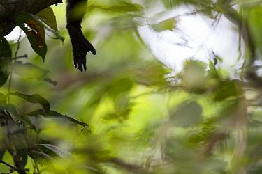 Mantled howler monkey (Alouatta palliata) hand, tropical rainforest. Barro Colorado Island, Gatun Lake, Panama Canal, Panama.