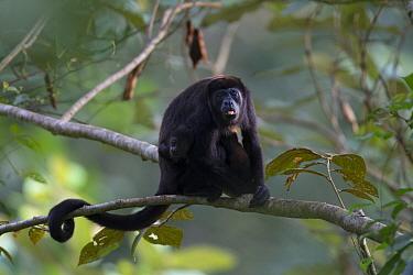 Mantled howler monkey (Alouatta palliata)  with infant, sticking out tongue in tropical rainforest,  Barro Colorado Island, Gatun Lake, Panama Canal, Panama.