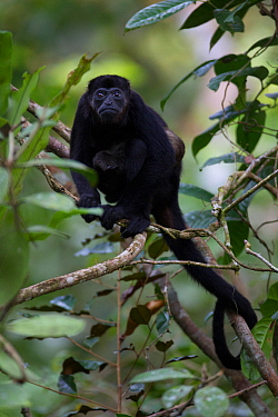 Mantled howler monkey (Alouatta palliata) in tropical rainforest,  Barro Colorado Island, Gatun Lake, Panama Canal, Panama.
