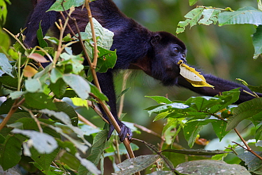 Mantled howler monkey (Alouatta palliata) feeding in tropical rain forest. Barro Colorado island, Gatun Lake, Panama Canal, Panama.