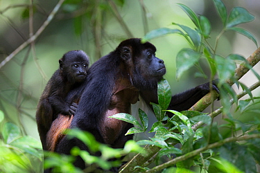 Mantled howler monkey (Alouatta palliata) with baby in tropical rainforest. Barro Colorado Island, Gatun Lake, Panama Canal, Panama.